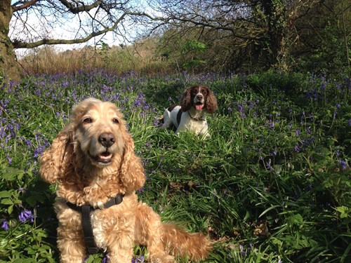 Charlie & Harry in the Bluebells